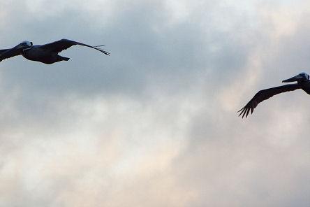 pelicansinflight