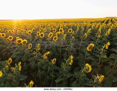 field-of-sunflowers-planted-in-rows-ar5rnj