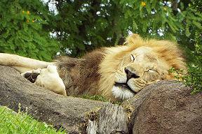 lionsleeping51716