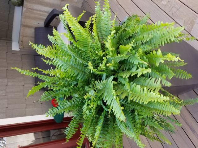 670px-User-Completed-Image-Care-for-Boston-Ferns-2017.05.12-20.59.29.0