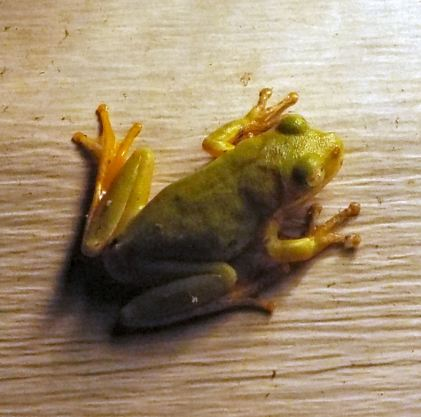 firstfrog