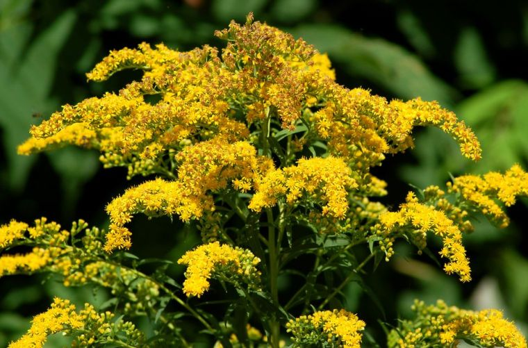 goldenrod-big-56a5872b3df78cf77288b244