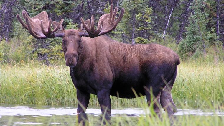 Moose-page_-Image-w-cred-cap_-1200w_-Bull-Moose_2.jpg