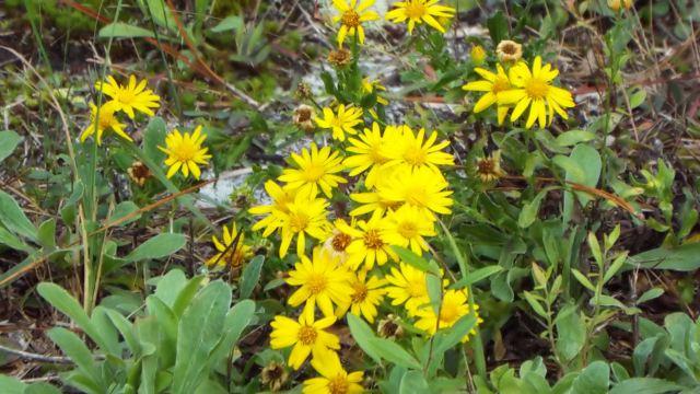 yellowwildflowerfl20171