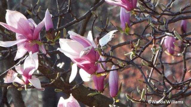 tuliptree.jpg