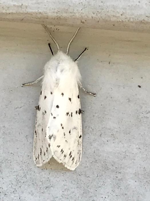 whitebug