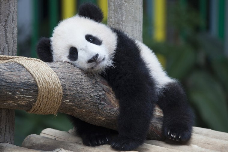 Baby panda at Malaysian National Zoo receives name